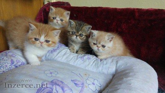 Prodám exotická koťata s PP