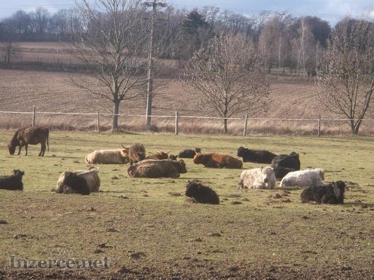 Prodám krávy Highland,Galloway