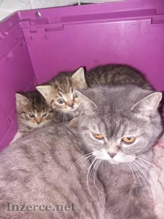 Prodám malé britské šelmičky - kočička i kocourek