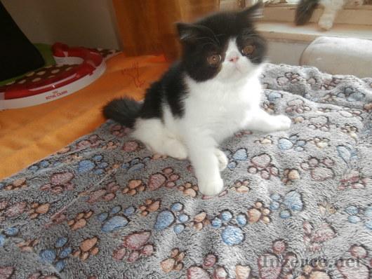 Prodám perská a exotická koťátka s p.p.