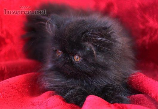 Prodám perské kotě s PP