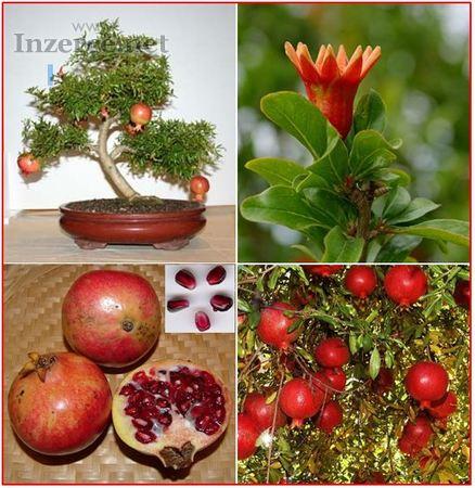 Punica Granatum - Granátové jablko - semena