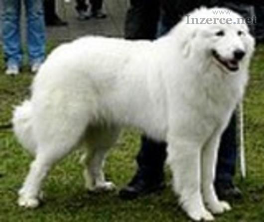 Pyrenejský horský pes