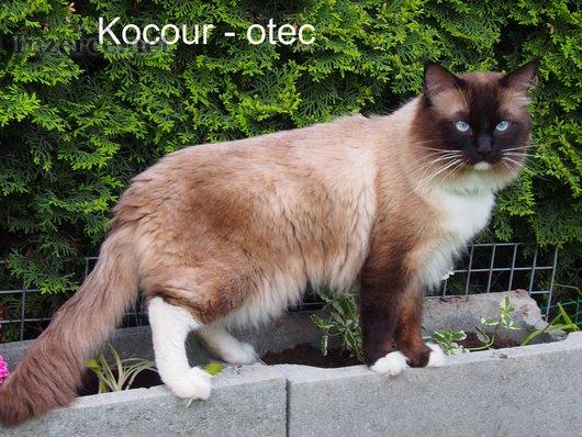 Ragdoll koťata bez PP