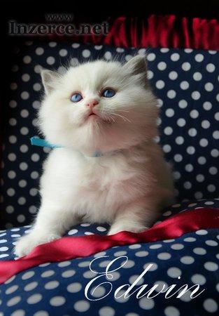 Ragdoll - koťata s PP