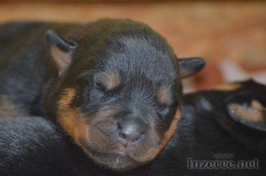 Rottweiler - štěňata s PP