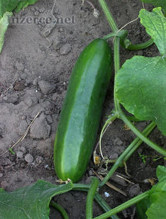 Semena okurka salátová Cubit