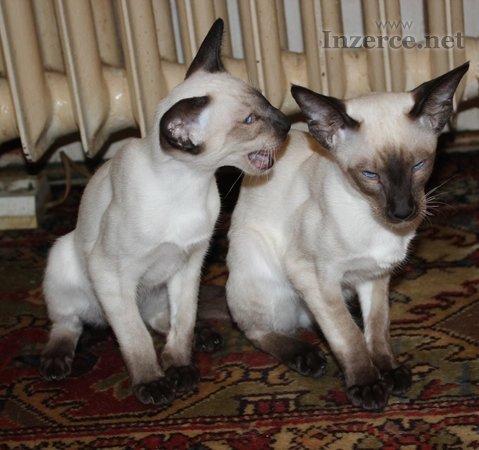 Siamská koťata s PP