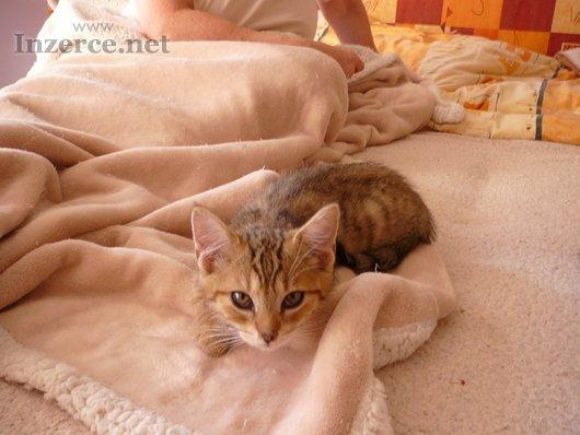 Sibiřská kočka - kotata