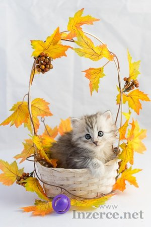 Sibiřská kotata