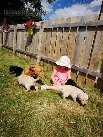 Štěňátka labradorský retrívr-jen pejsci