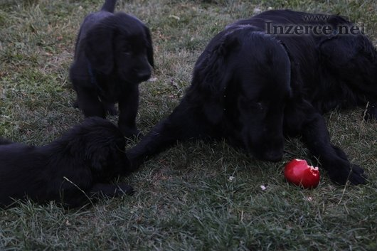 Štěně - Flat Coated Retriever