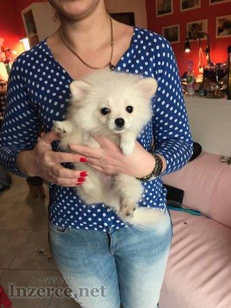 Štěně špic -  Pomeranian s PP