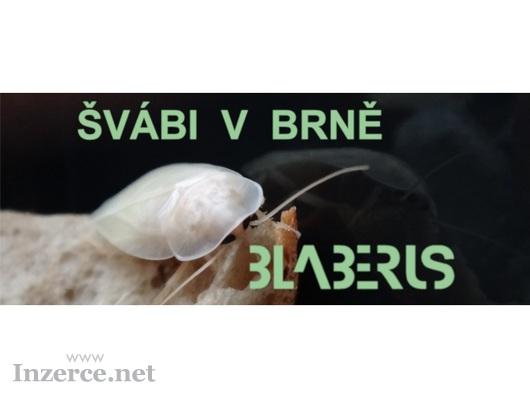 Šváb argentinský Blaptica dubia z kolonie BLABERUS