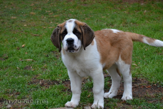 Svatobernardský pes - Bernardýn PP