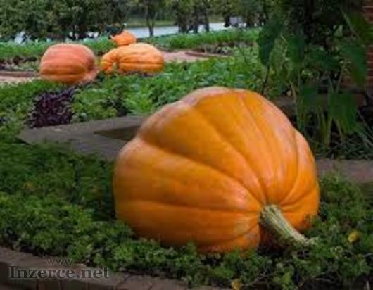 Tykev velkoplodá ( dýně obrovská ) - semena 10 ks