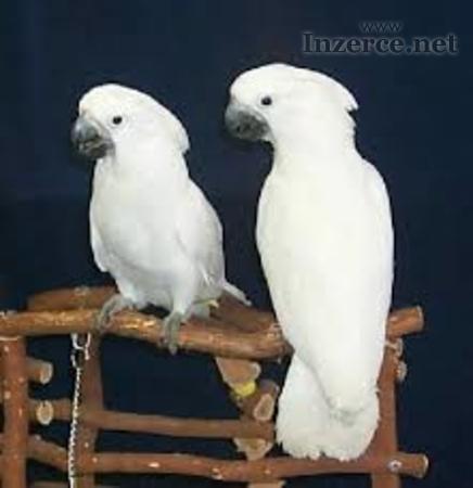 Umbrella kakadu papoušky pro novou rodinu