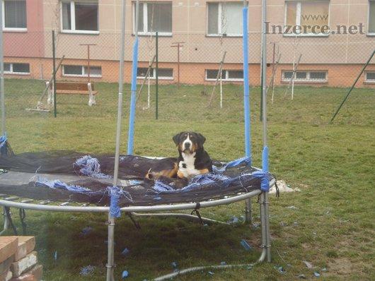 Velký švýcarský salašnický pes!!!!