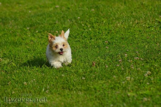 Yorkšírský Terrier Golddust s PP