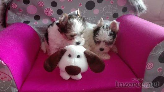 Yorkširský terrier s PP