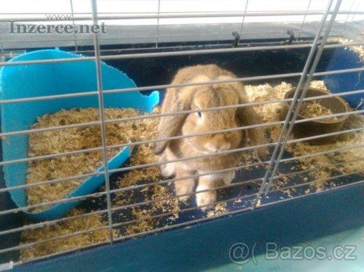 Zakrslí beránek králik