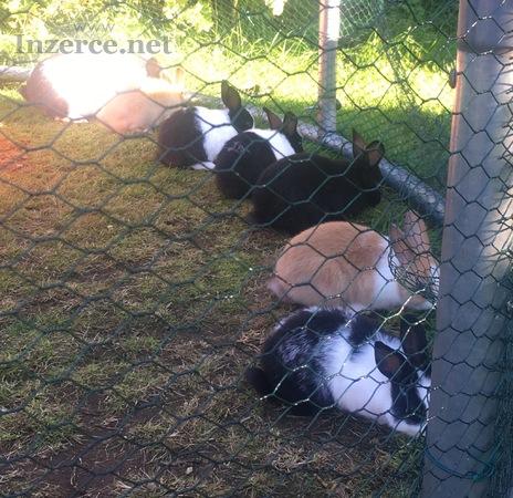 Zakrslí králíčci