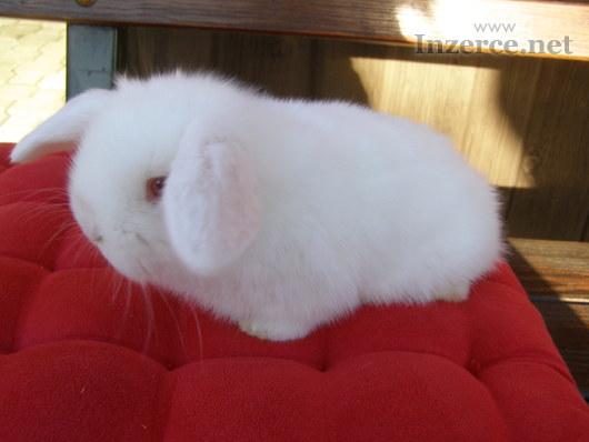 Zakrslý králíček beránek