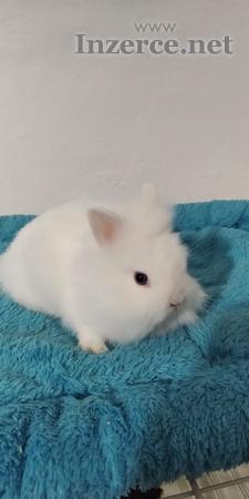 Zakrslý králíček různých barev