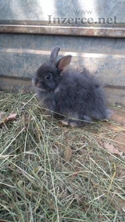 Zakrslý králící