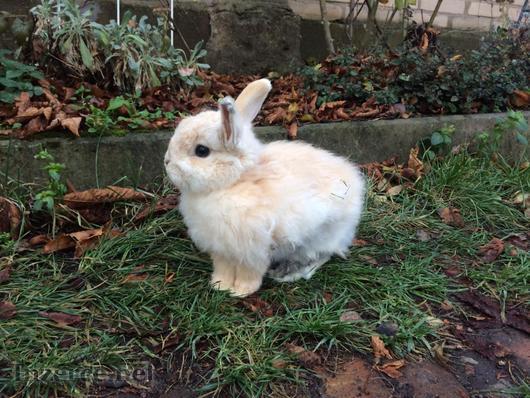 Zakrslý králík