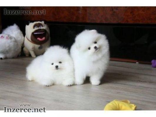 Zdravý domov získal Pomeranian štěňata k dispozic