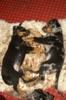 Beauceron štěňata Slzy Katharů - foto 2