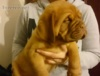 Bordeauxská doga - prodám kvalitní štěňátka s PP - foto 2