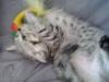 Britská whiskas koťátka - foto 2