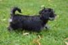 Havanský psík -  s PP - foto 2
