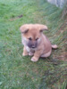 Hezký štěně Akita Inu - foto 2