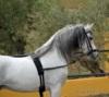 Klidný a úžasný andaluský hřebec k dispozici - foto 2