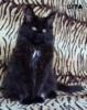 Mainská mývalí kočka luxusní koťata s PP - foto 2