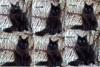 Mainská mývalí kočka luxusní koťata s PP na chov  - foto 2