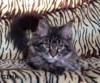 Maionská mývalí kočička s PP na prodej - foto 2