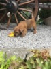 Norfolk Terrier - foto 2