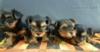 Prodám Yorkšírské teriéry 3 pejsky jsou čistokrevn - foto 2