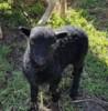 Quessantské ovce - foto 2