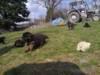 Štěňátka německý ovčák, černá se znaky s PP - foto 2