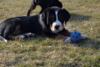 Velký švýcarský salašnický pes s PP - foto 2