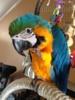 Ara Ararauna papoušci  pro prodej - foto 3