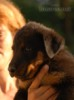 Beauceron - štěňata s PP - foto 3