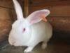 Brojleroví králíci-Hyla - foto 3