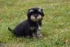 Havanský psík -  s PP - foto 3