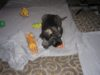 Knírač velký Pepř a Sul štěn. s PP  - foto 3